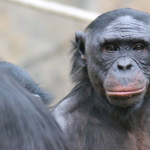 A bonobo stares back at the camera while anoTH.er walks away